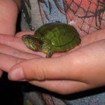 Хочется необычного и красивого домашнего питомца? Купите красноухую черепаху!