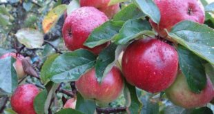 Секреты ухода за яблоней